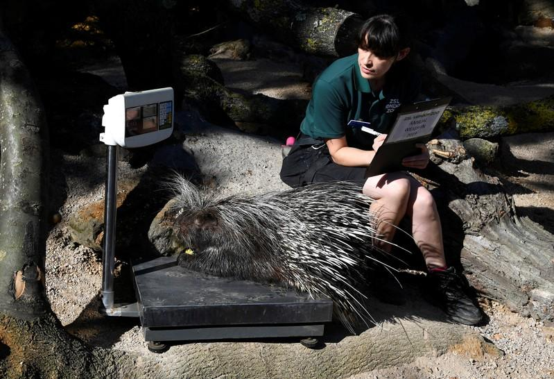 London Zoo launches its trickiest annual task - the weigh-in