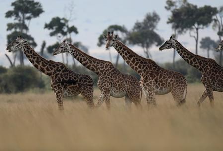 Trade in giraffes to be regulated for first time: CITES