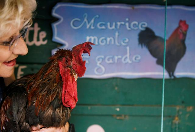 Maurice the Rooster pitches city slickers against locals in