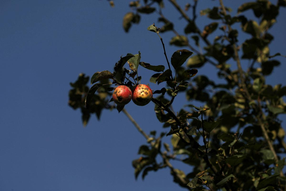 Apples rot in Kashmir orchards as lockdown puts economy in tailspin
