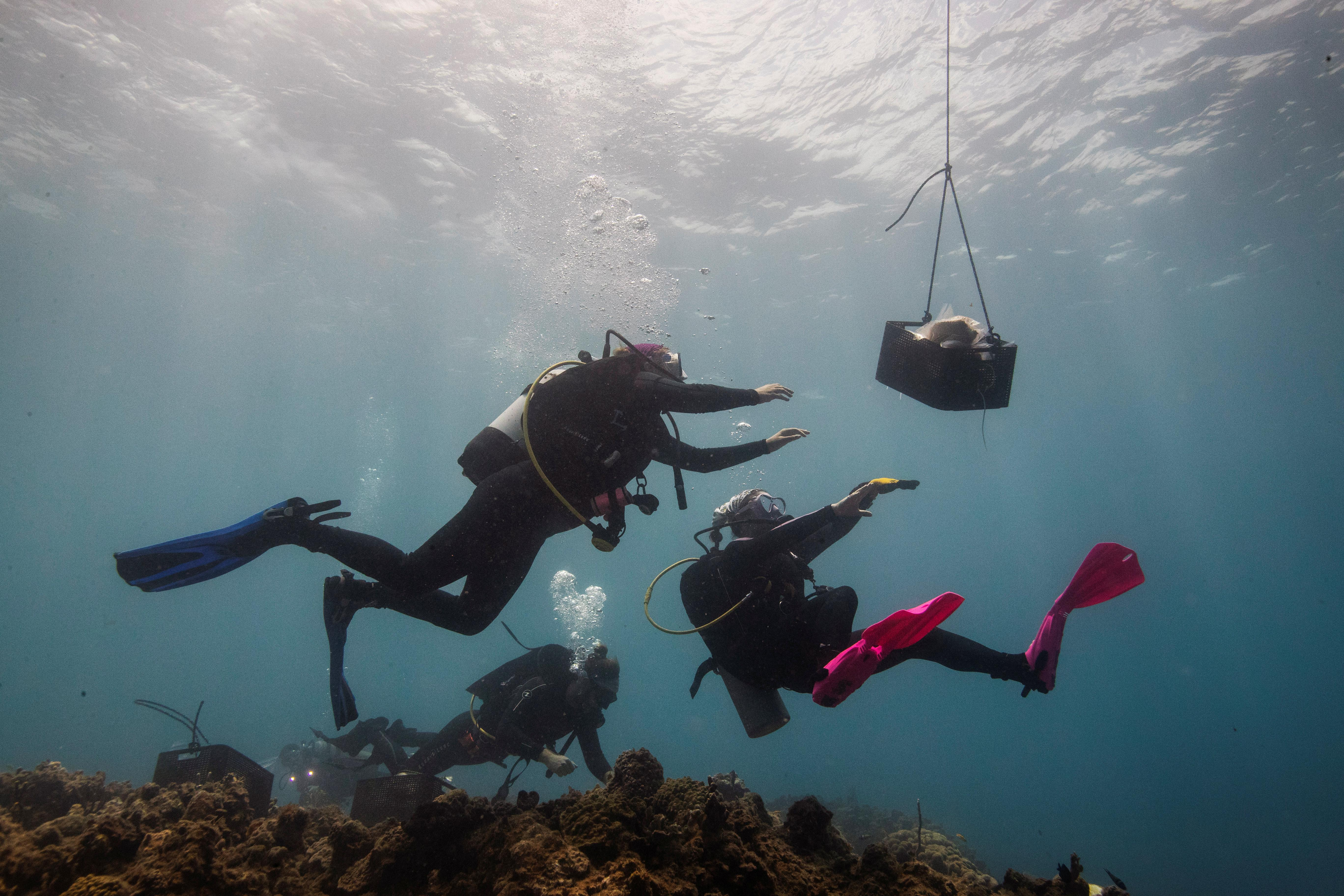 Disaster under the waves: the race to save the coral of the Caribbean