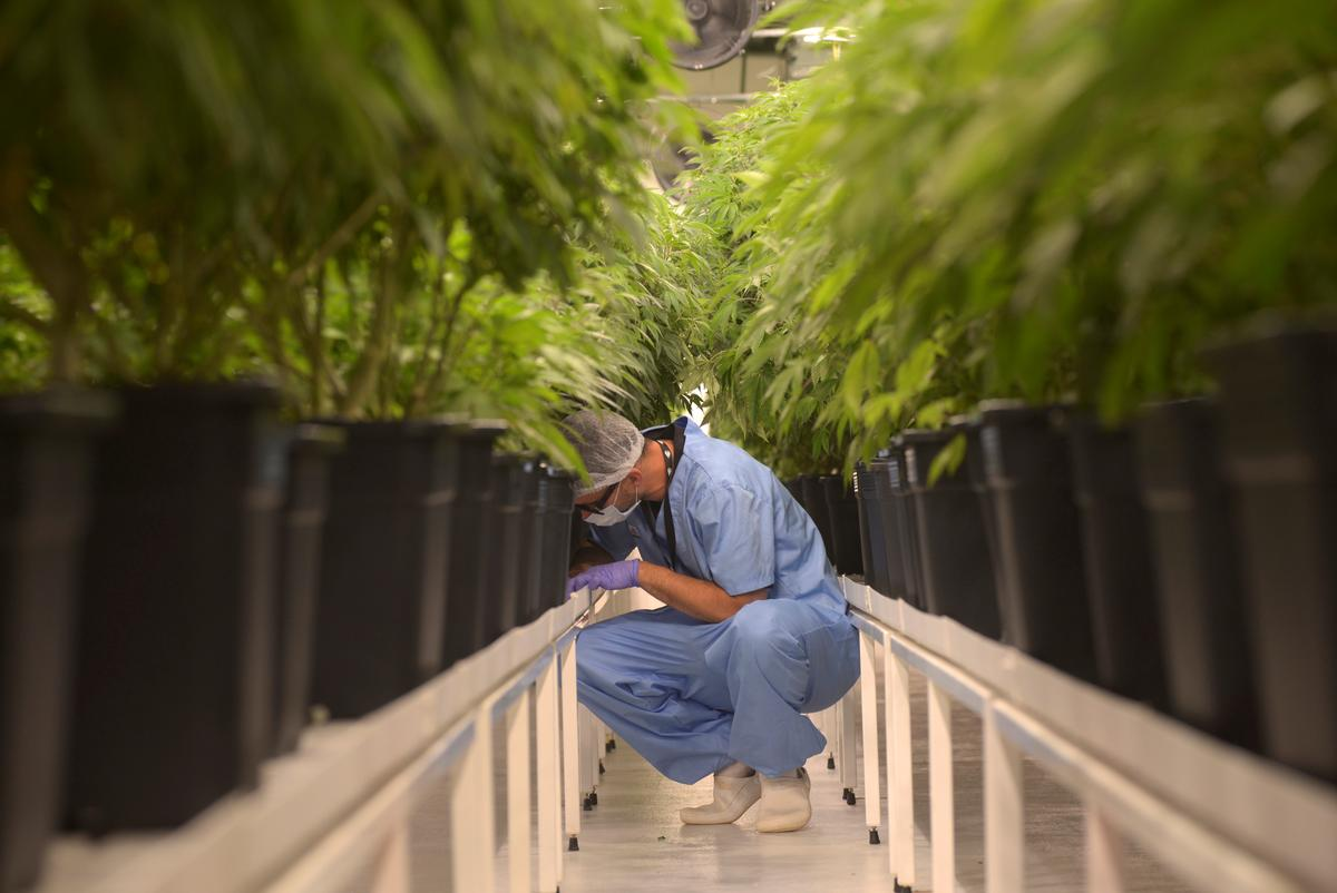 High ambitions: Uruguay cannabis firm targets booming global market...