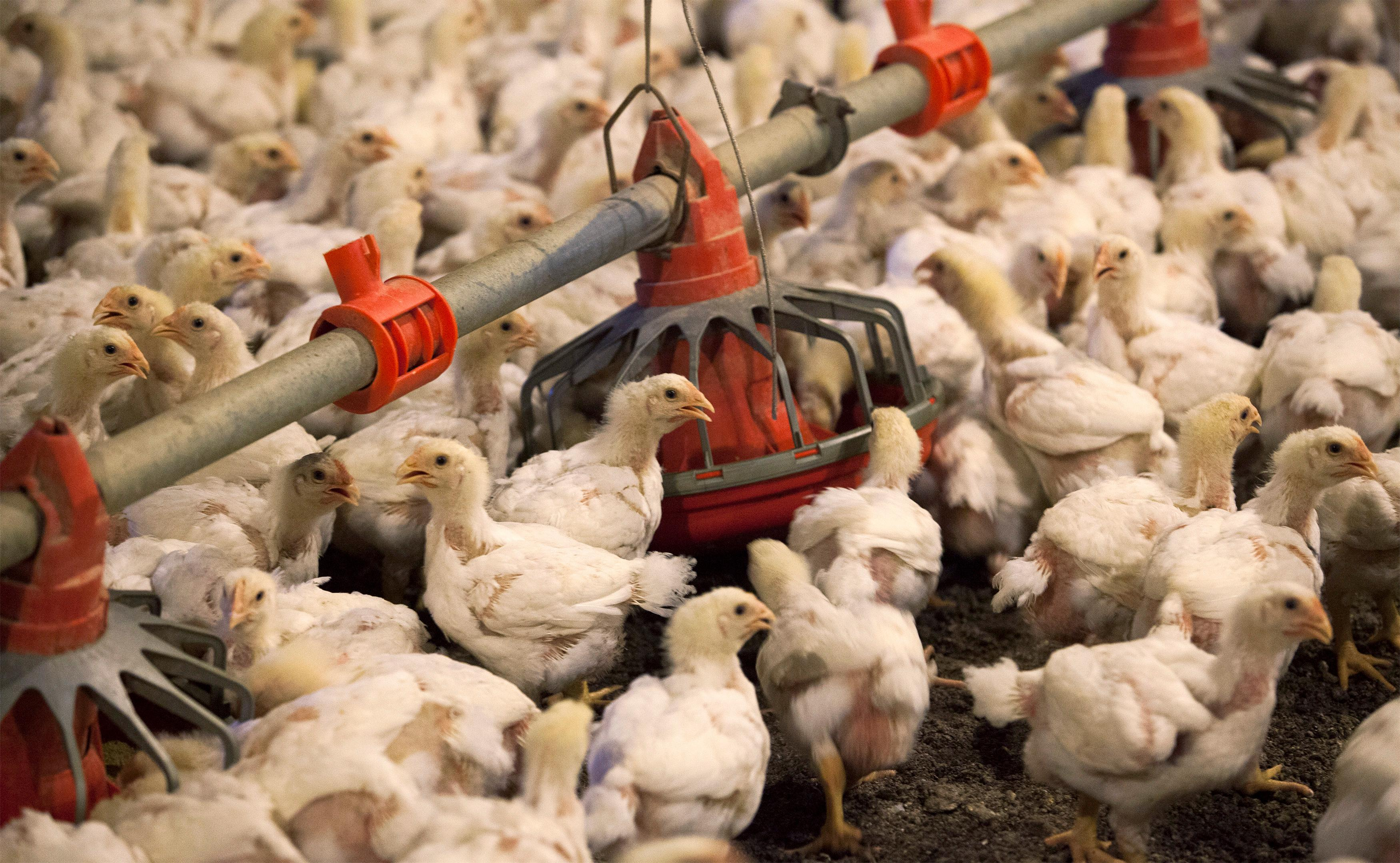 China ends ban on U.S. poultry imports as pig disease crisis causes...