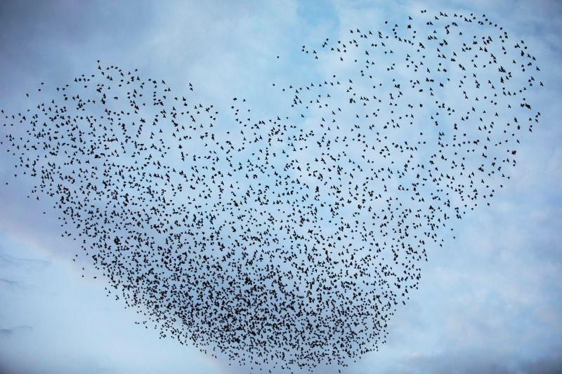 Migrating starlings put on dazzling show in southern Israel