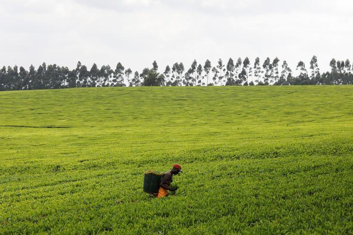 Kenya's tea export earnings drop 16% in 2019 on low prices