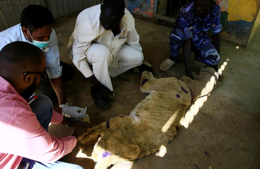 Conservationists try to save underfed lions in Sudan park