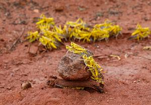 Locust swarm threatens food security in Horn of Africa