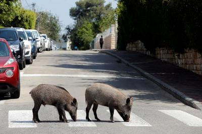 Wild boars roam Israeli city under lockdown