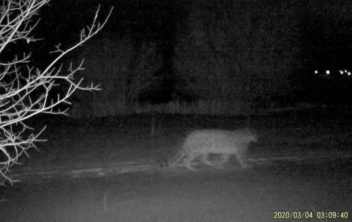 Rare snow leopards spotted near Kazakh city amid lockdown