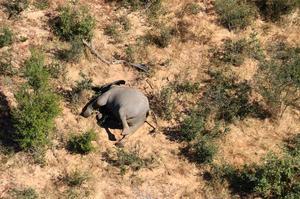 Botswana investigating mystery deaths of 275 elephants