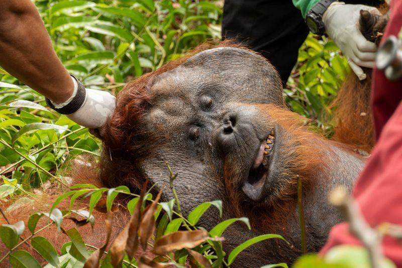 Orangutan Found on Palm Oil Plantation Returned To the Wild
