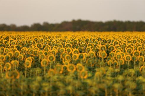 Sunny fields of sunflowers