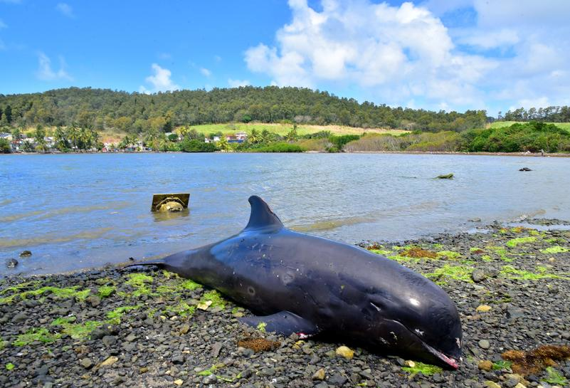 Seven more dolphins found dead on Mauritius beach near oil spill - Reuters