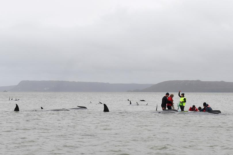 Australians race to save stranded whales | Pictures | Reuters