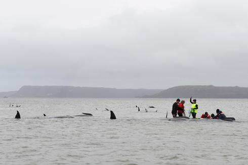 Australians race to save stranded whales