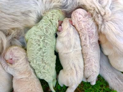Unfur-gettable: Puppy born with green fur