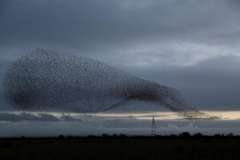 Starlings in the Scottish skies | Pictures | Reuters