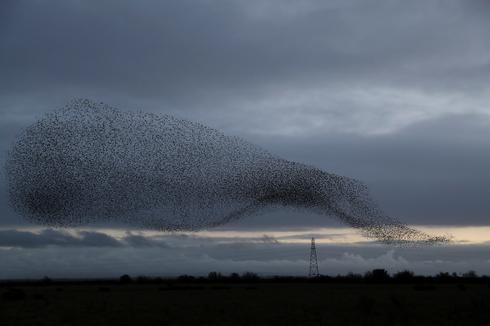 Starlings in the Scottish skies