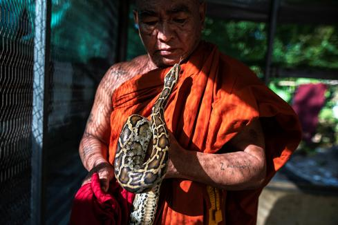 Myanmar monk offers temple sanctuary for threatened snakes