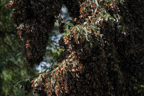 Monarch butterfly population falls in Mexico
