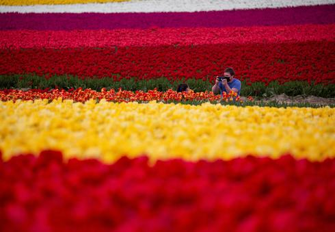 Fields of tulips in Washington