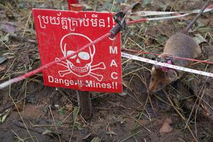 Cambodia deploys rats to sniff out landmines