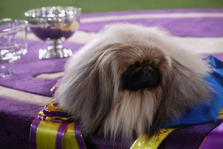 Westminster Dog Show 2021 Full Winners List: Wasabi the Pekingese Wins Best in Show