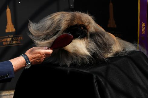 Wasabi the Pekingese wins best in show at Westminster