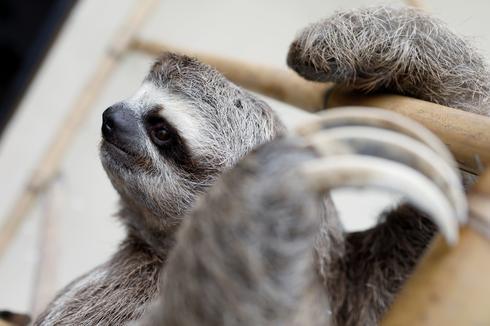 Venezuelan couple nurses injured sloths back to health at home shelter